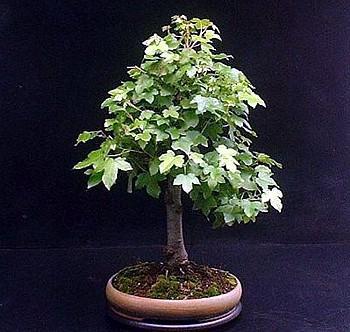 Sweet Gum Tree 7 Seeds Liquidambar Bonsai Ebay