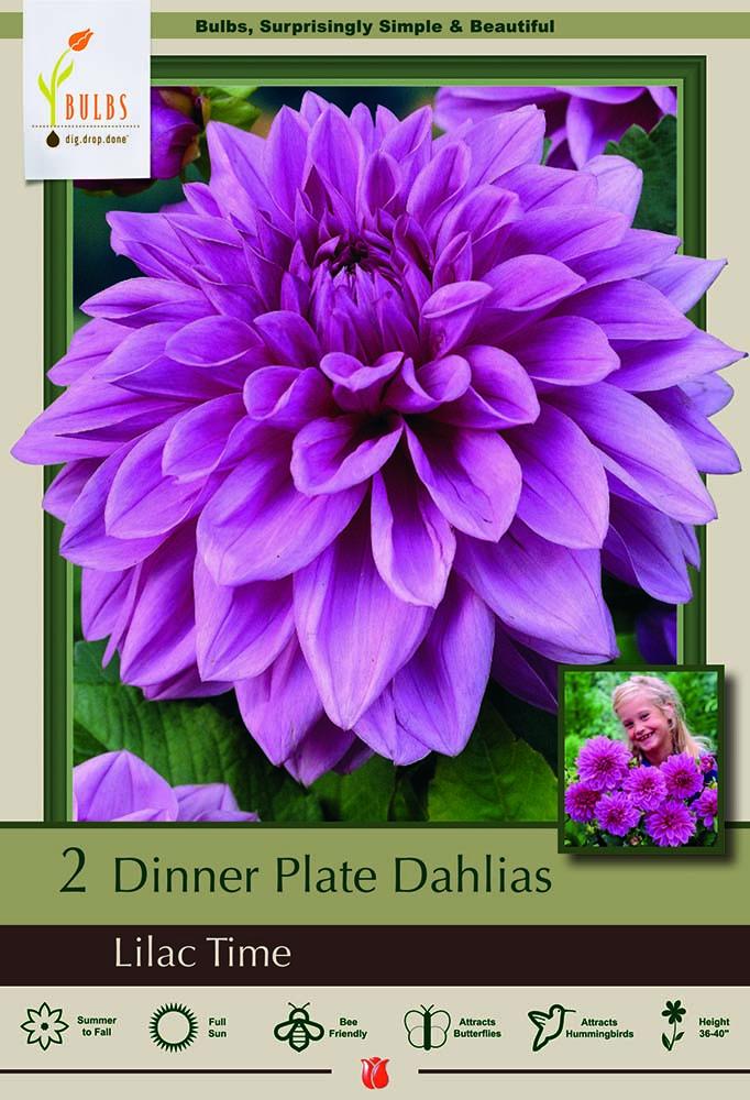 Fantastic Flower Bonsai Really Illusion Dinnerplate Cacti Dahlia Bulb Clumps