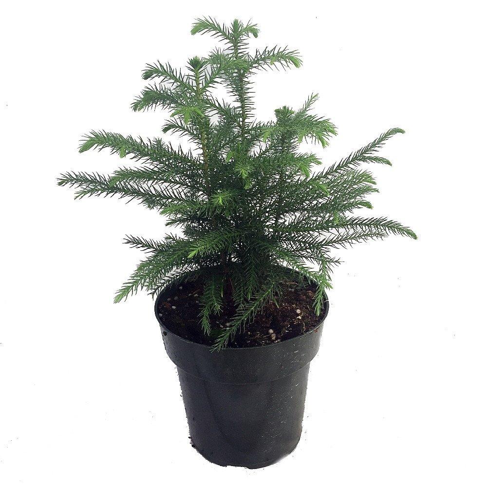 Norfolk Island Pine - The Indoor Christmas Tree - 6\