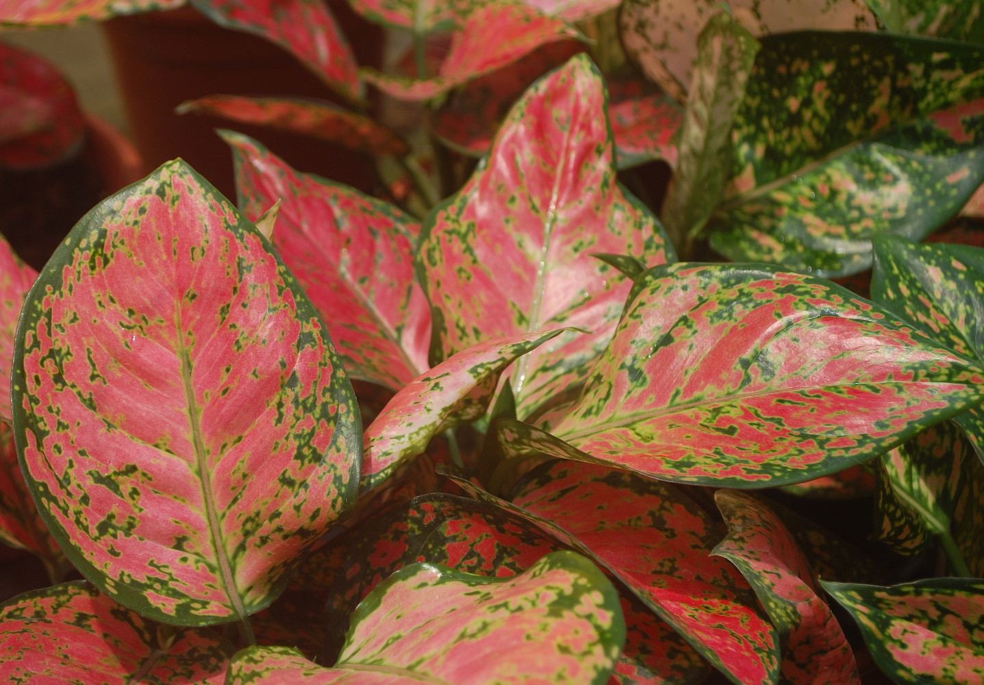 Ruby Jazz Chinese Evergreen Plant - Aglaonema - Grows in Dim Light ...