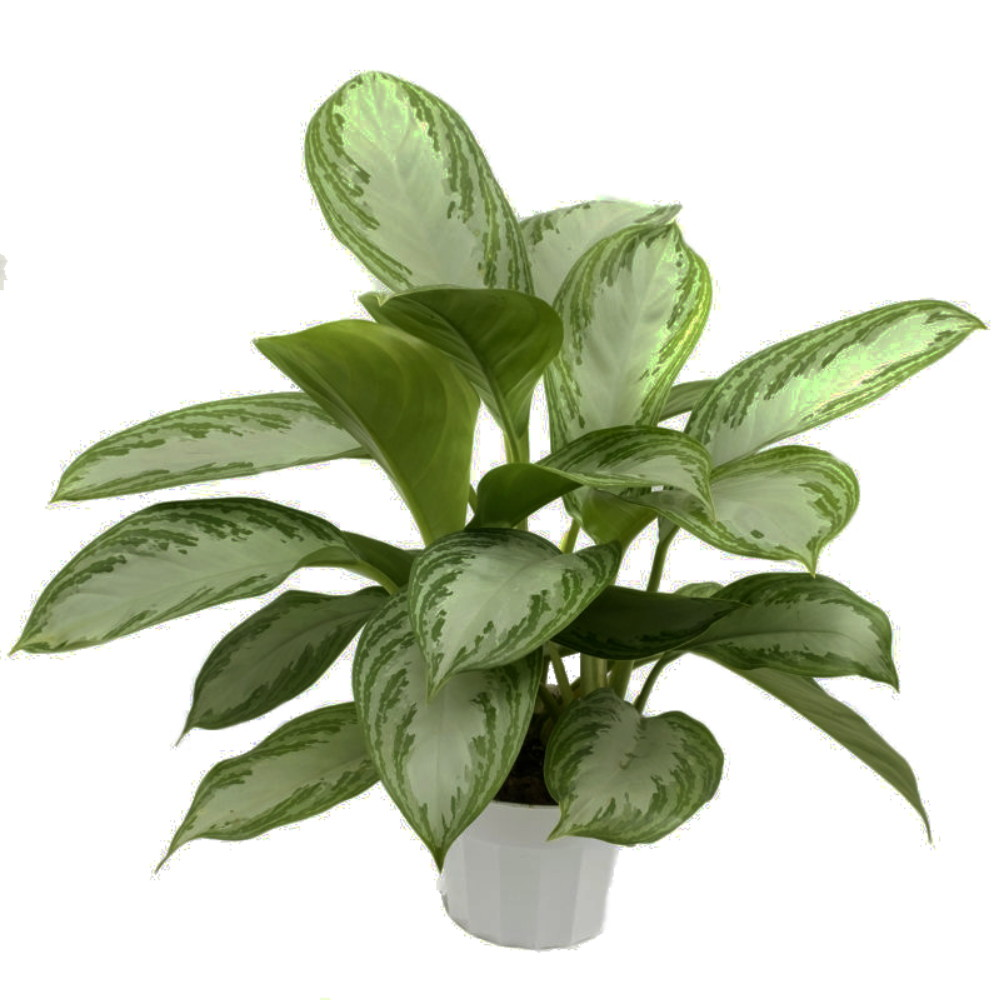 Picture of Live Chinese Evergreen Plant Aka Aglaonema 'Silver Bay' Plant Fit 1 Gallon Pot