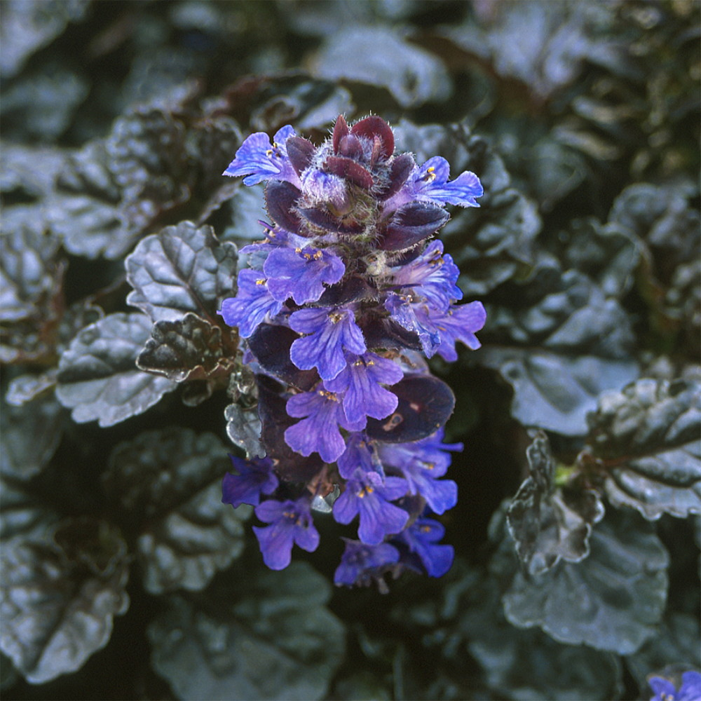 Picture of Live Bugleweed Aka Ajuga R. 'Black Scallop' Plant Fit 1 Gallon Pot