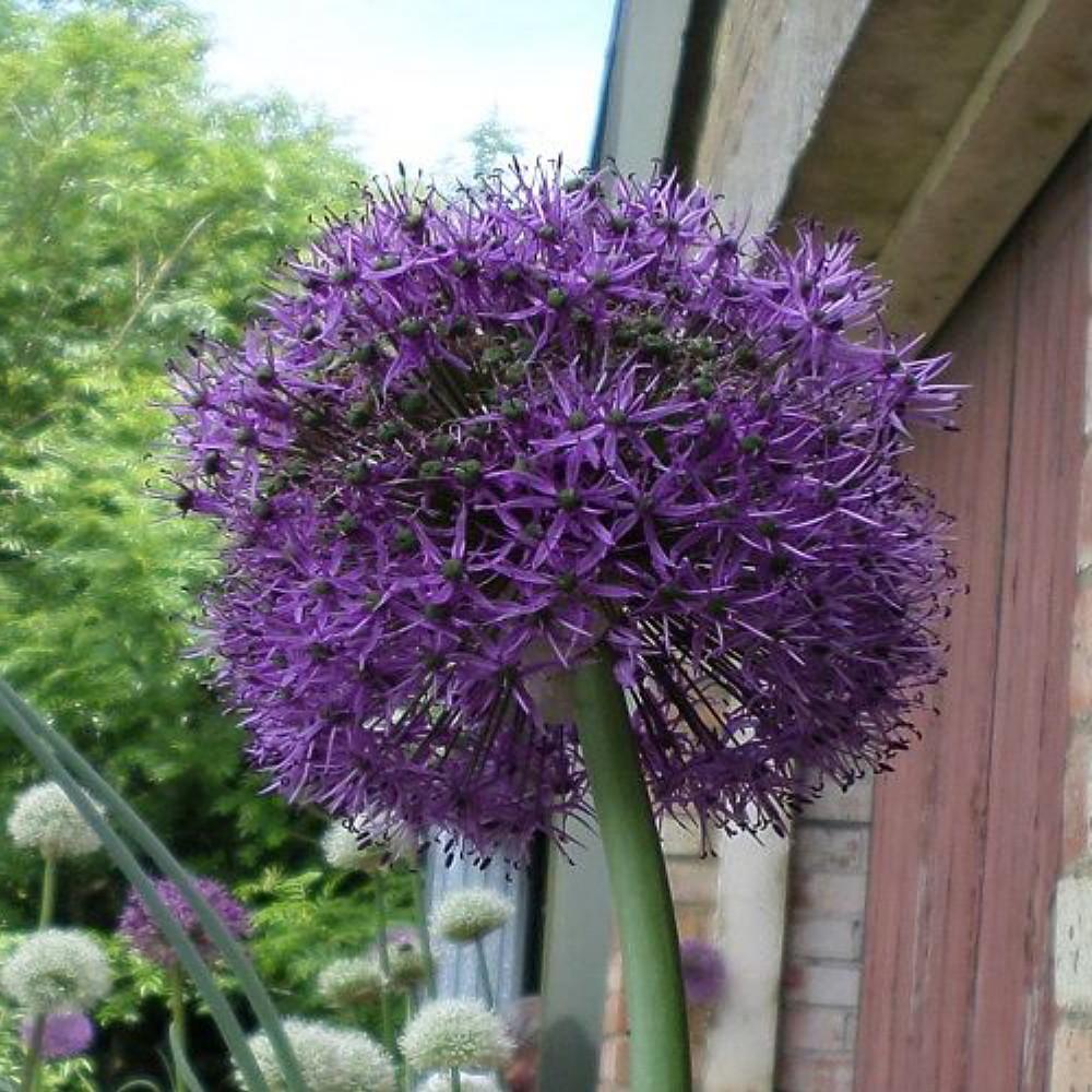 Purple Suze Flowering Onion Allium 2 Bulbs 14 Cm Bulbs Hirts