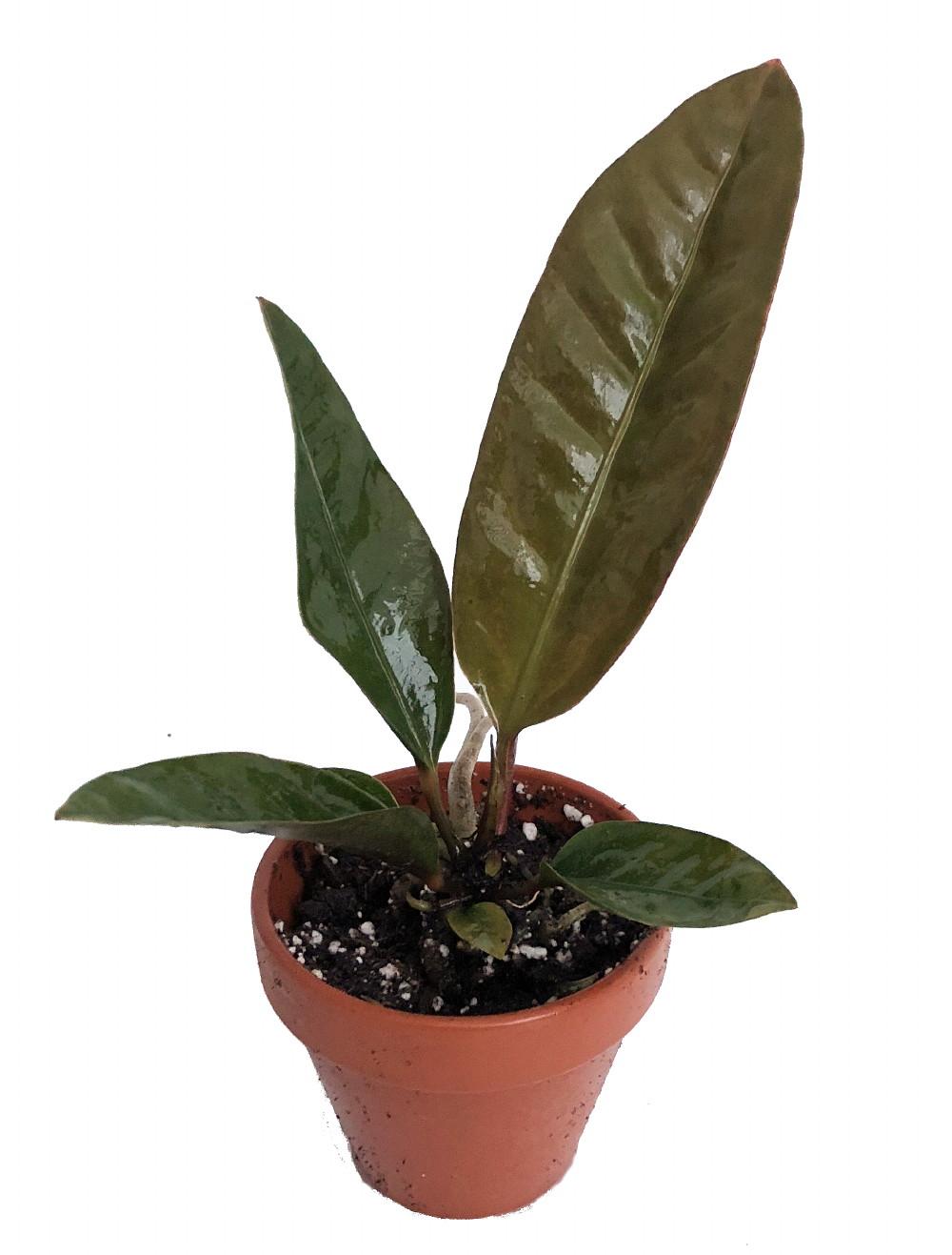 Bird's Nest Anthurium superbum - Easy to Grow Blooming House Plant on anthurium anceps, anthurium albovirescens, anthurium sect. digitinervium, anthurium atroviride, anthurium albidum, anthurium aristatum, zantedeschia aethiopica, anthurium angustilaminatum, anthurium albispatha,