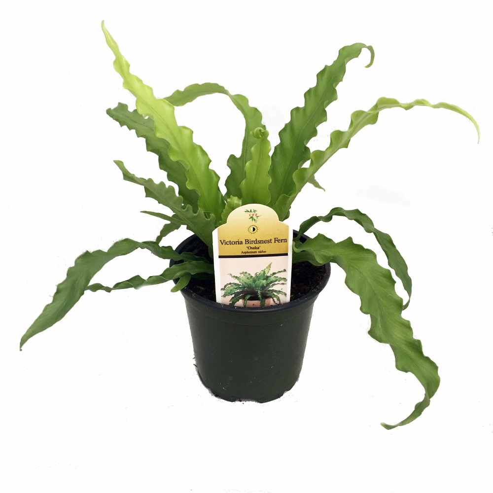 Victoria bird 39 s nest fern 4 pot asplenium easy to for Small easy to grow plants
