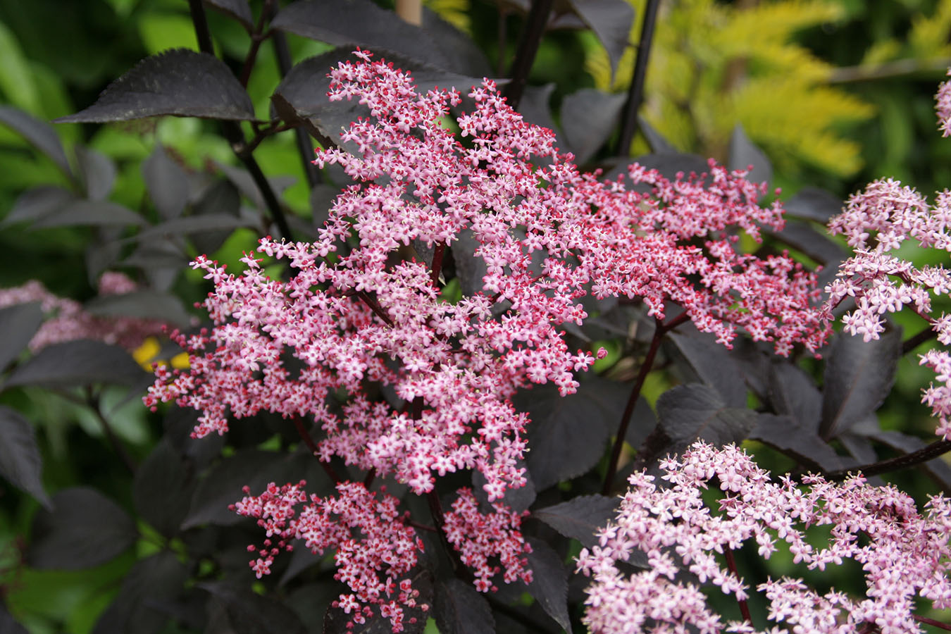 Black beauty elderberry sambucus nigra proven winners 4 pot black beauty elderberry sambucus nigra proven winners 4 pot hirts gardens izmirmasajfo