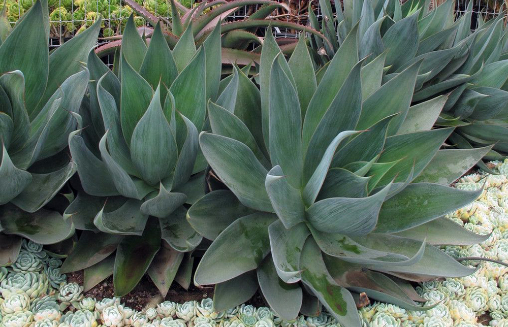 Blue Flame Agave 4 Pot Hybrid Clumping Ebay
