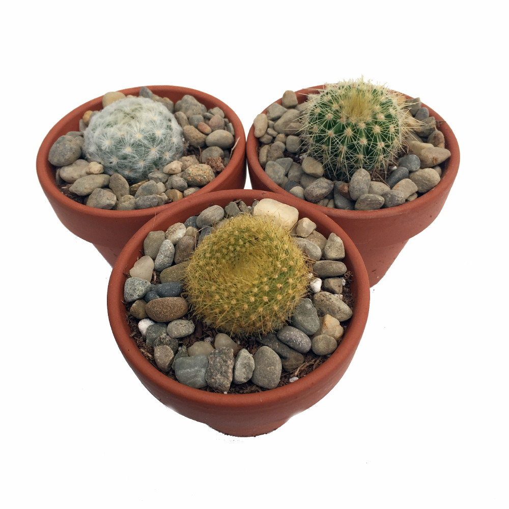 Instant Cactus Collection - 3 Plants - 2 inch Pots - Excellent for ...