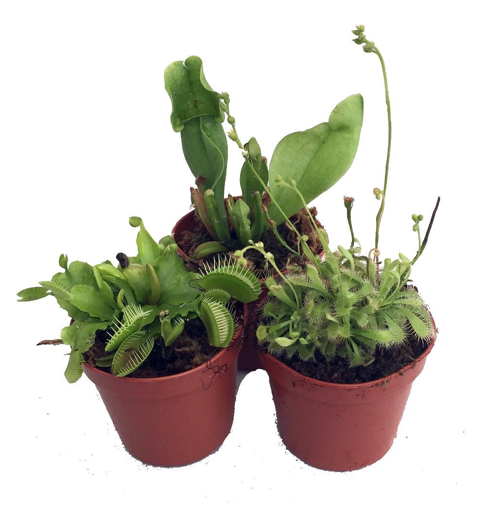 Carnivorous Terrarium Plants Assortment Of 3 Plants In 2 Pots Ebay