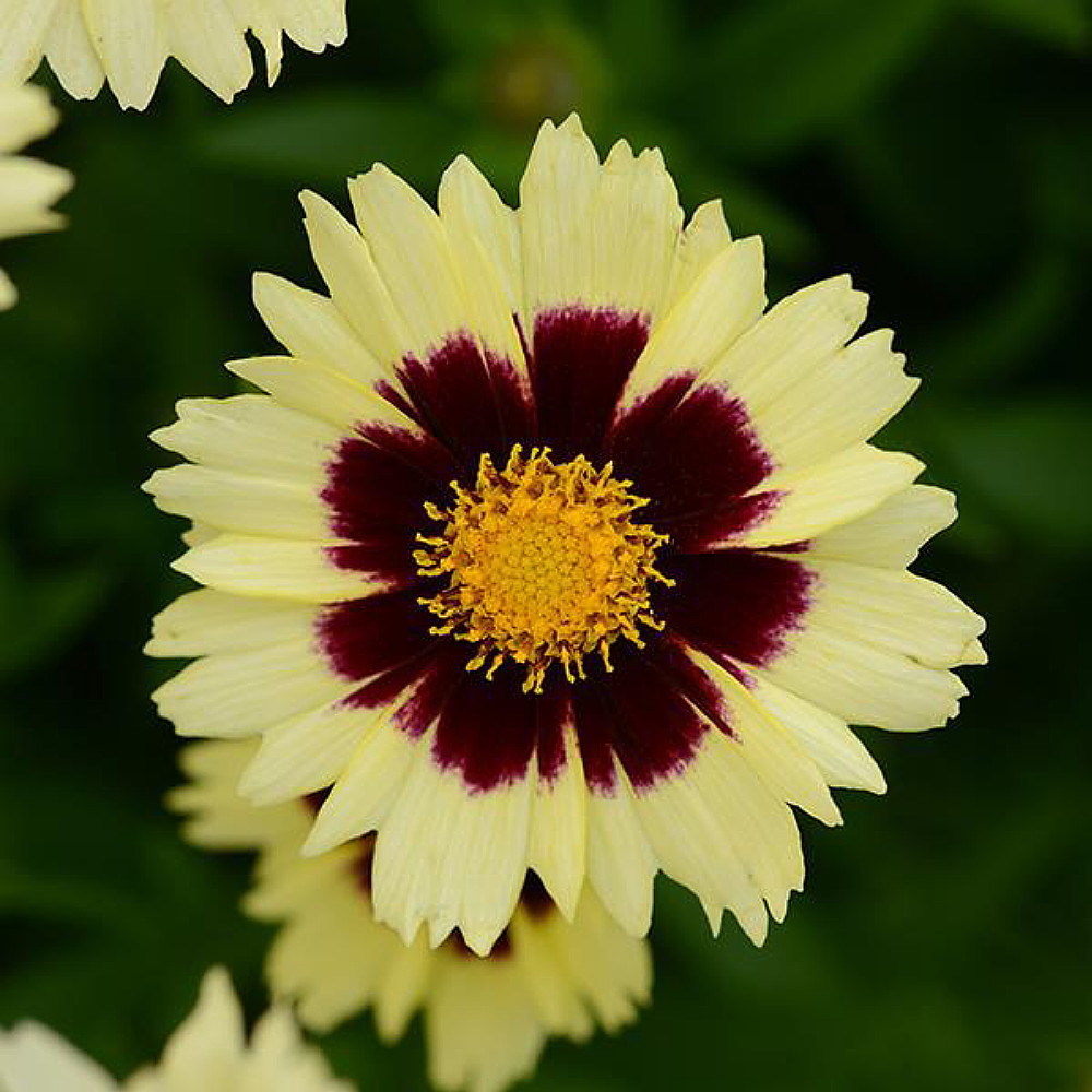 Up Tick Cream Red Coreopsis Tickseed Perennial Live Plant