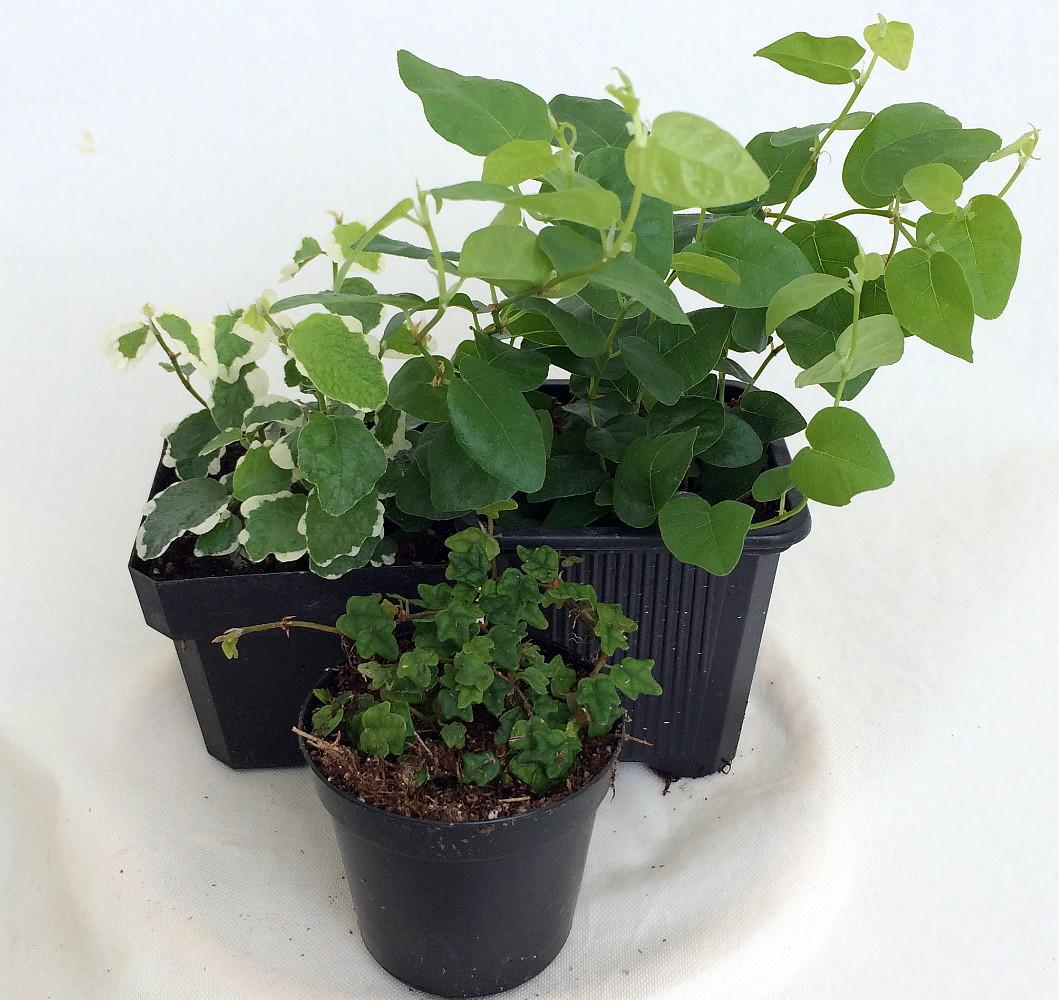 creepingfig3plants Crawling Houseplants on