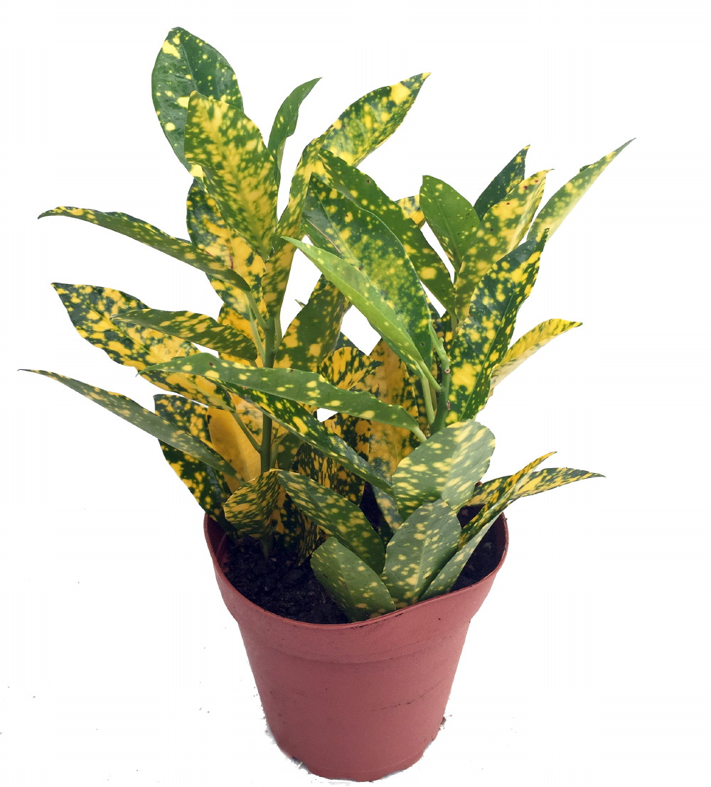 "Picture of Live Croton Gold Dust aka Codiaeum variegatum Plant Fit 4"" Pot"