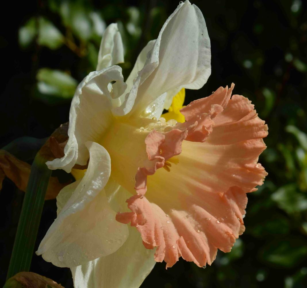 British Gamble Trumpet Daffodil 5 Bulbs 14/16 cm - White & Pink ...