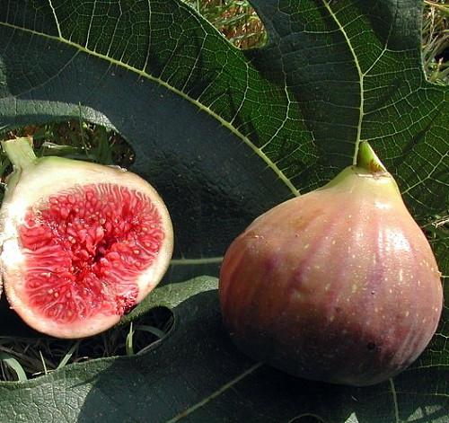 Violet De Bordeaux Negronne Edible Fig Plant