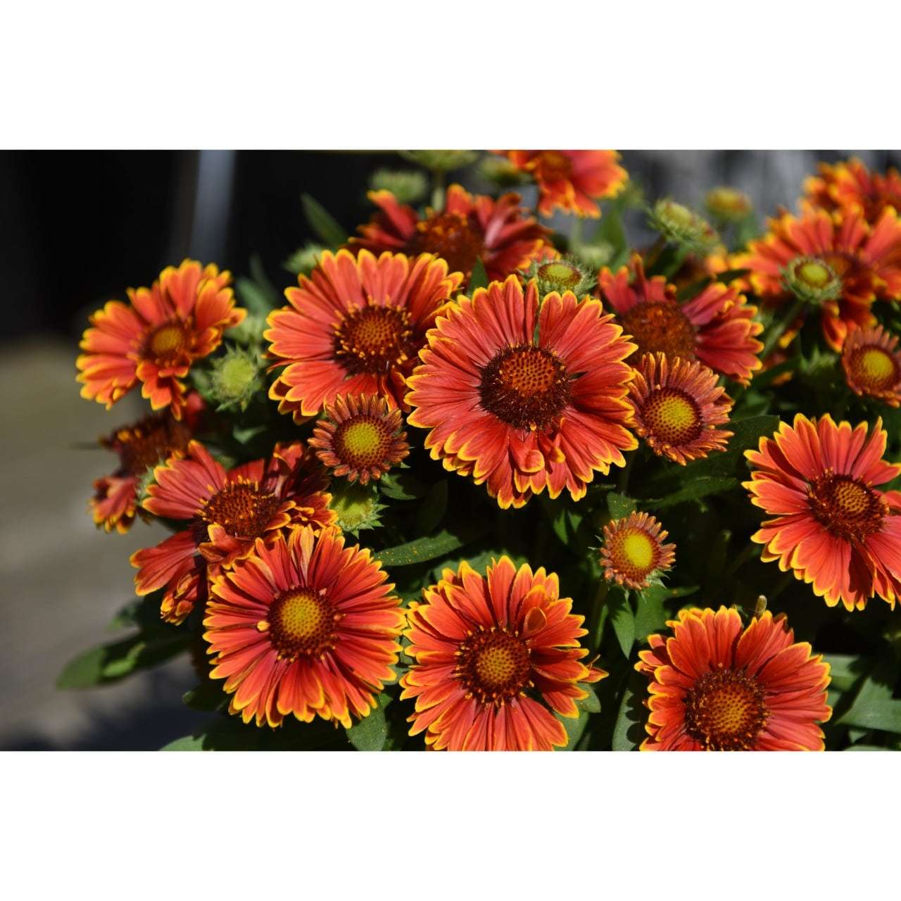 Spin Top Yellow Touch Blanket Flower Gaillardia Live Plant