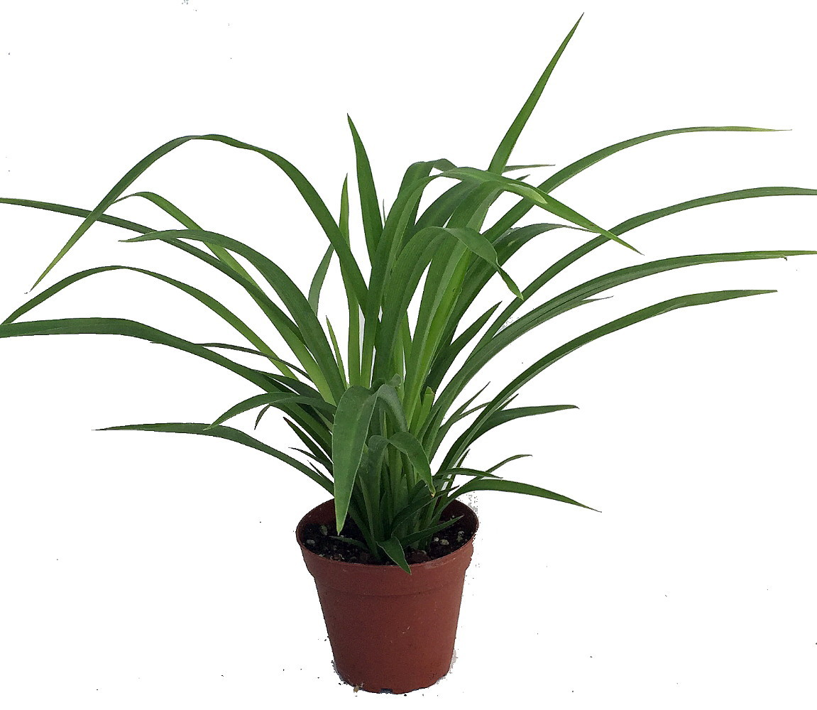 Growing A Spider Plant: Shamrock Spider Plant