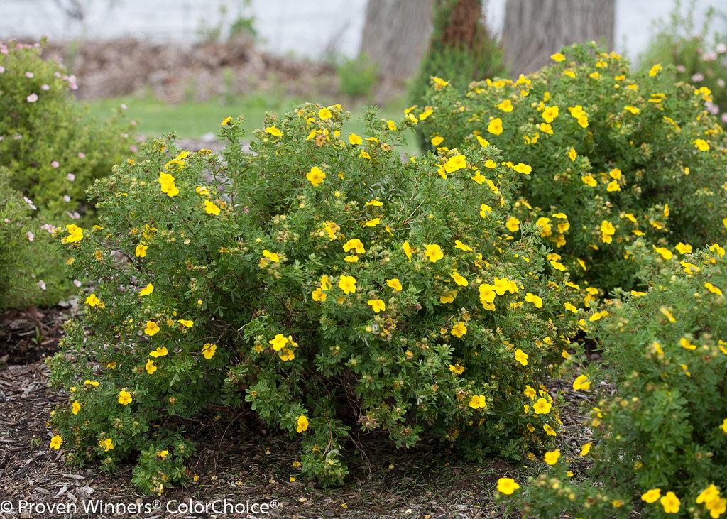 Yellow happy face bush cinquefoil potentilla proven winners 4 yellow happy face bush cinquefoil potentilla proven winners 4 pot hirts gardens mightylinksfo