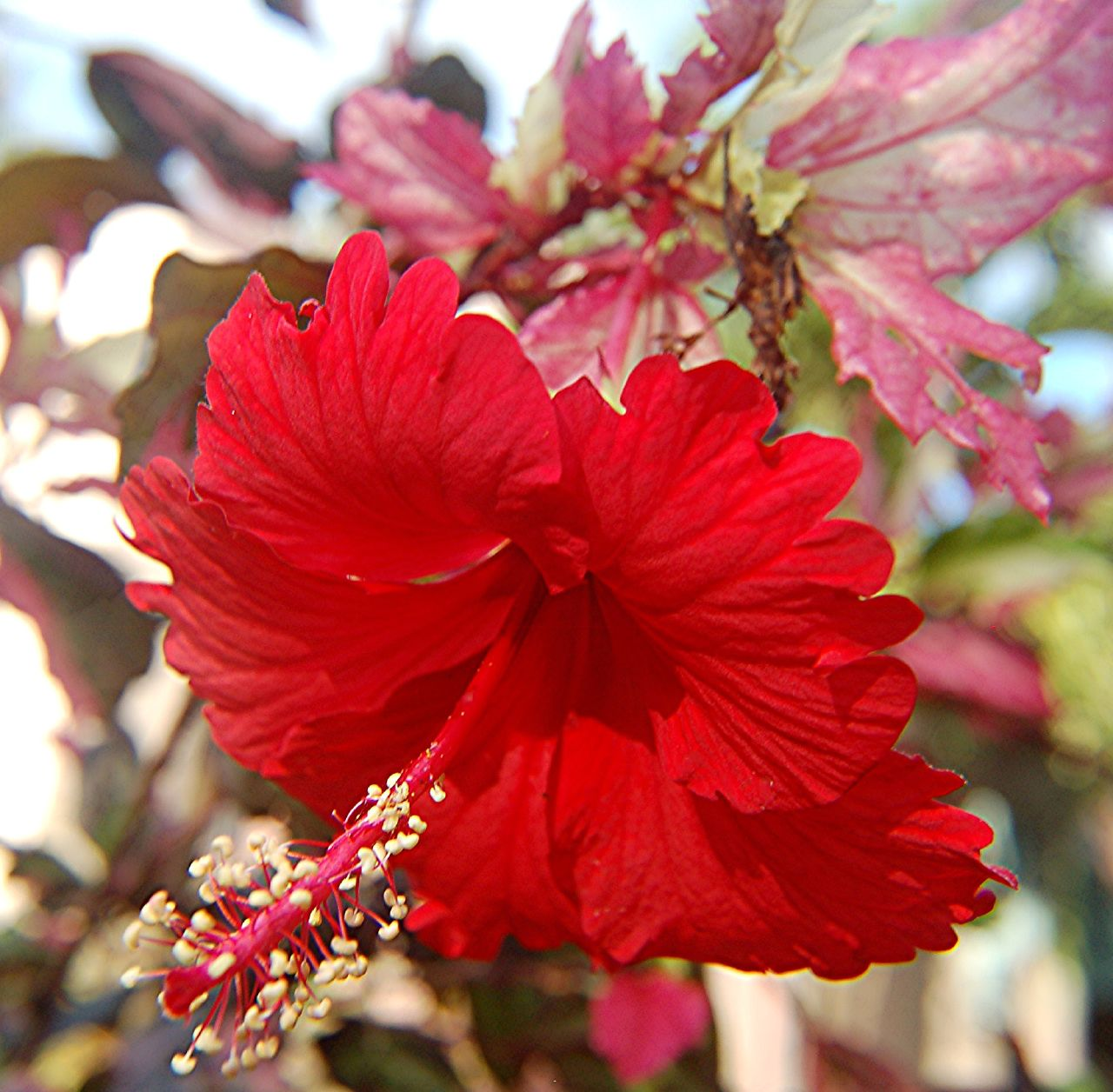 Snow queen hibiscus plant 4 pot indoors or out ebay snow queen hibiscus plant 4 pot indoors or out izmirmasajfo