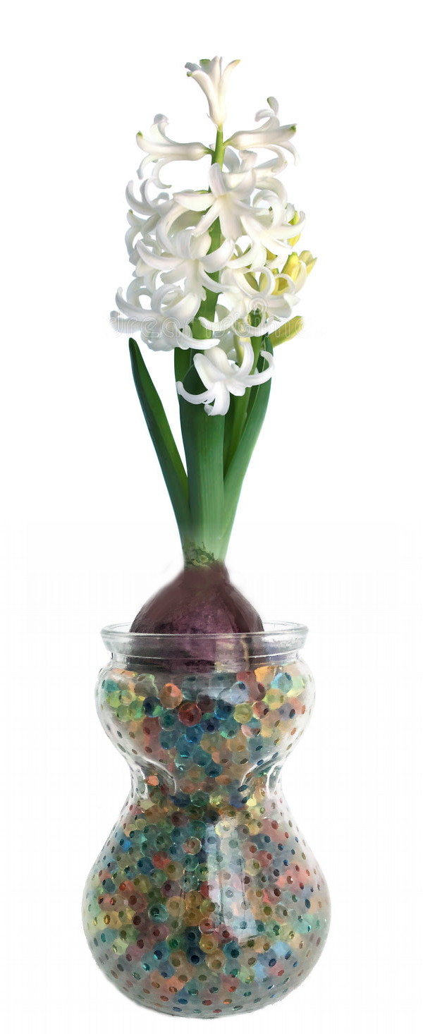 Clear glass hyacinth vase with magic water beads white hyacinth clear glass hyacinth vase with magic water beads white hyacinth bulb reviewsmspy