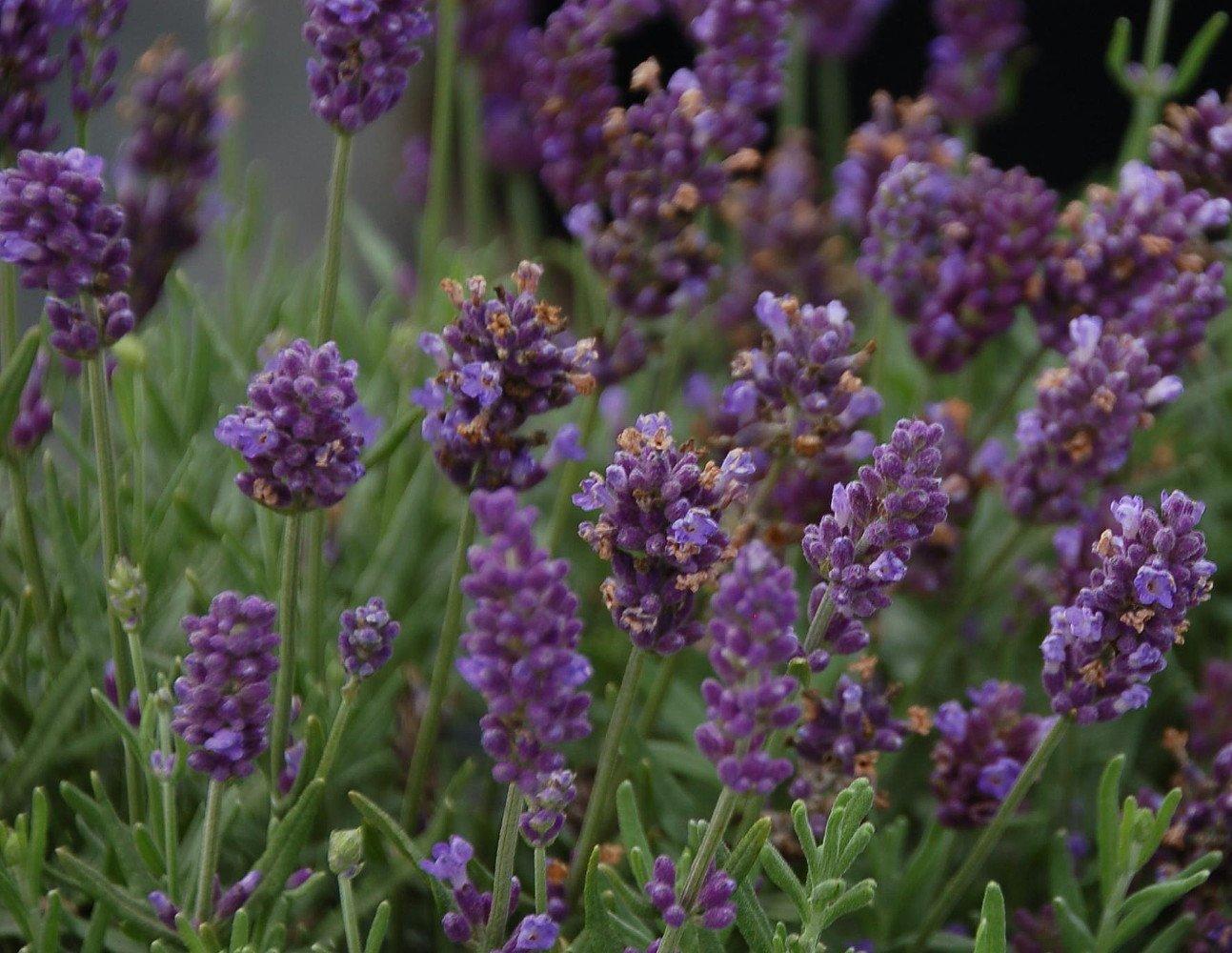 Lavance Purple Lavender - Quart Pot - Lavandula - Relaxing ...
