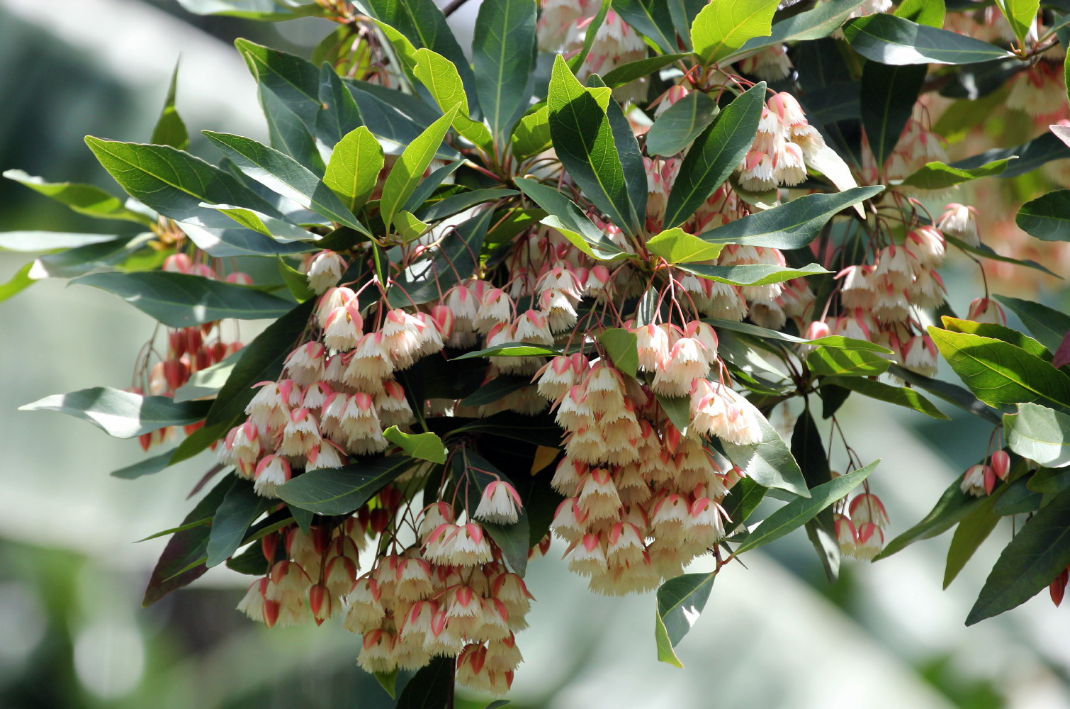 Lily Of The Valley Dancing Fairy Tree Elaeocarpus Indoorsout
