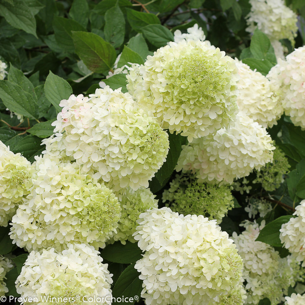 Limelight Hydrangea Beautiful Colors Proven Winners 4 Pot