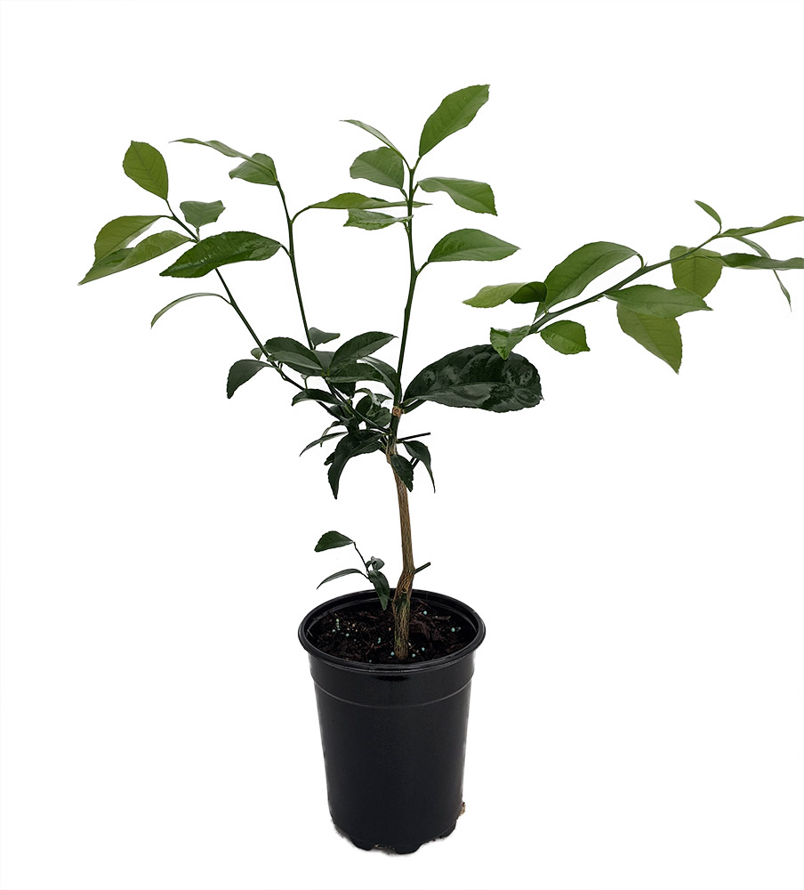 """Meyer Lemon Live Tree Indoor Plant 4/"""" Pot No Shipping to TX,FL,AZ,CA,LA,HI"""