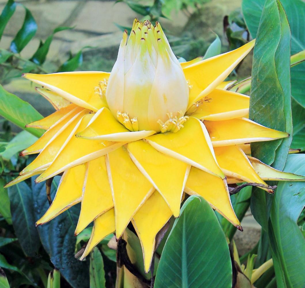 sacred golden lotus flowering banana musella lasiocarpa. Black Bedroom Furniture Sets. Home Design Ideas