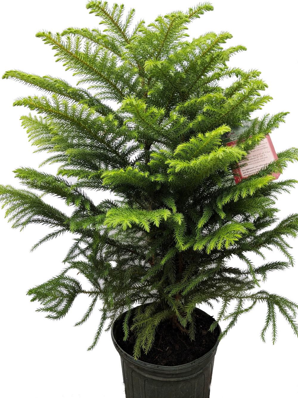 "Norfolk Island Pine - Indoor Christmas Tree - 9"" Pot - 36-48"" Tall - Ohio Grown   eBay"