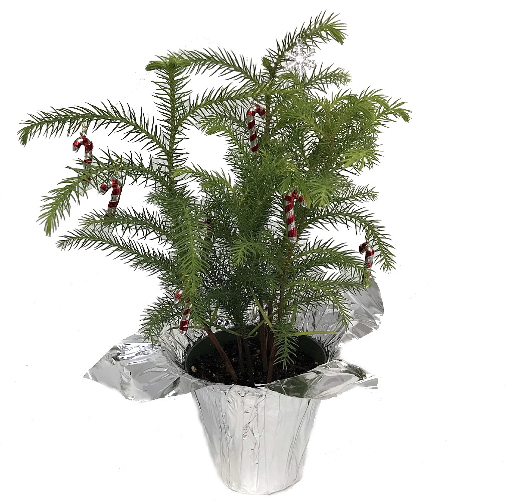 Norfolk Island Pine Decorated Silver - The Indoor Christmas Tree - 4 ...