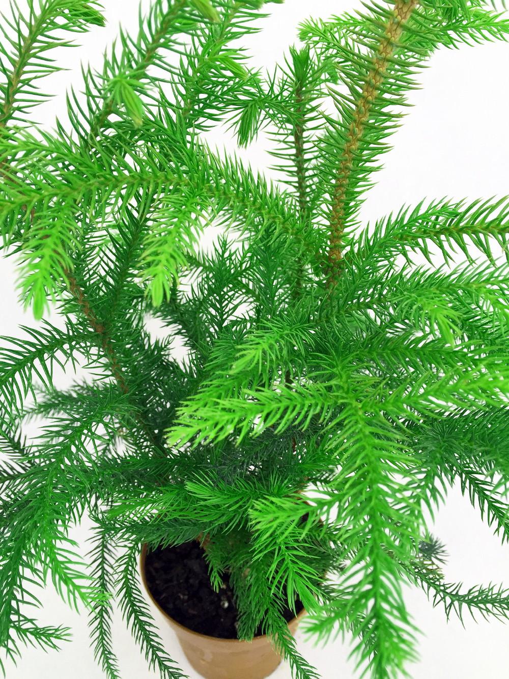 "Norfolk Island Pine Live Indoor Christmas Tree - Grown in Ohio - 4"" Pot   eBay"