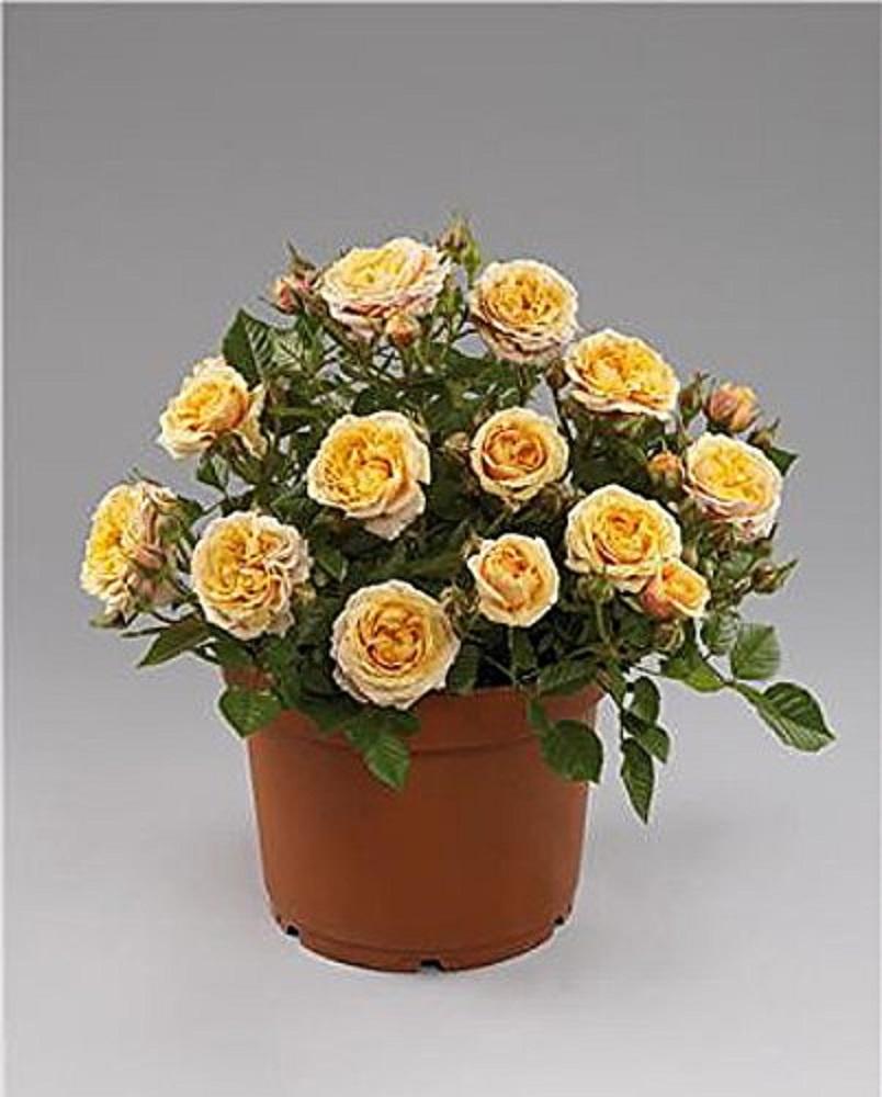 Parade Cara Miniature Rose Bush - Fragrant/Hardy - 4\