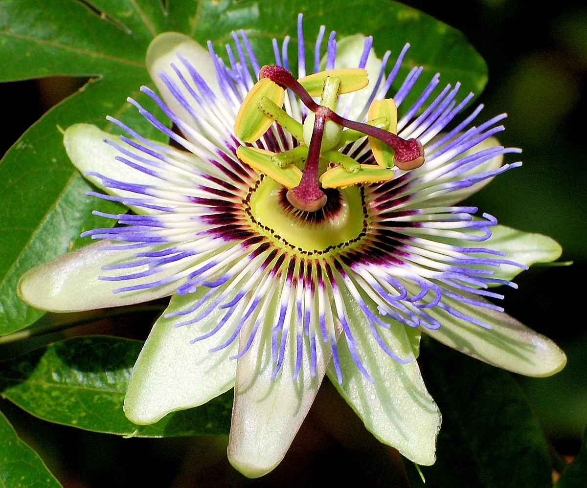 Blue Passion Flower 35 Seeds Passiflora Caerulea Ebay