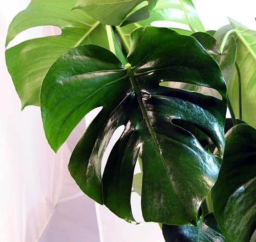 Split Leaf Philodendron 10 Seeds Monstera deliciosa on PopScreen