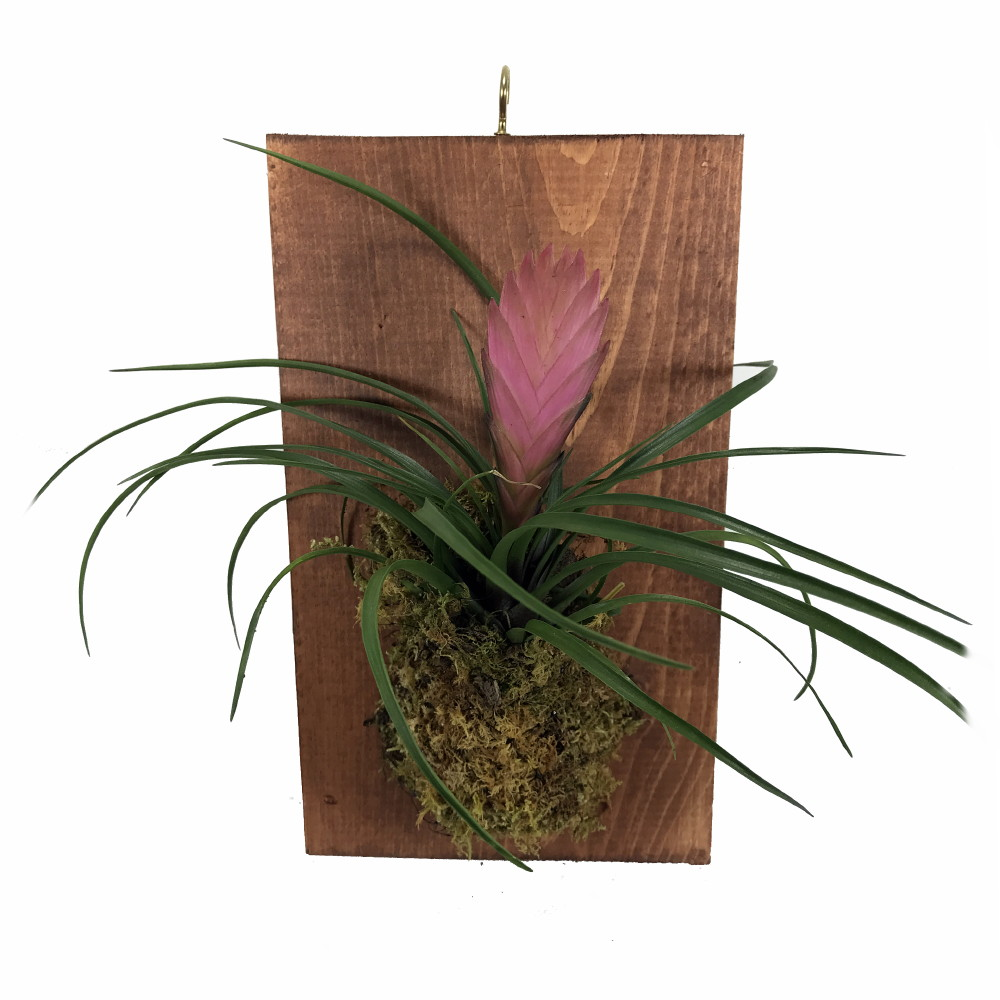 Pink Quill Plant Growing on a Walnut Stained Wood Plaque - 9 x 5.5 ...