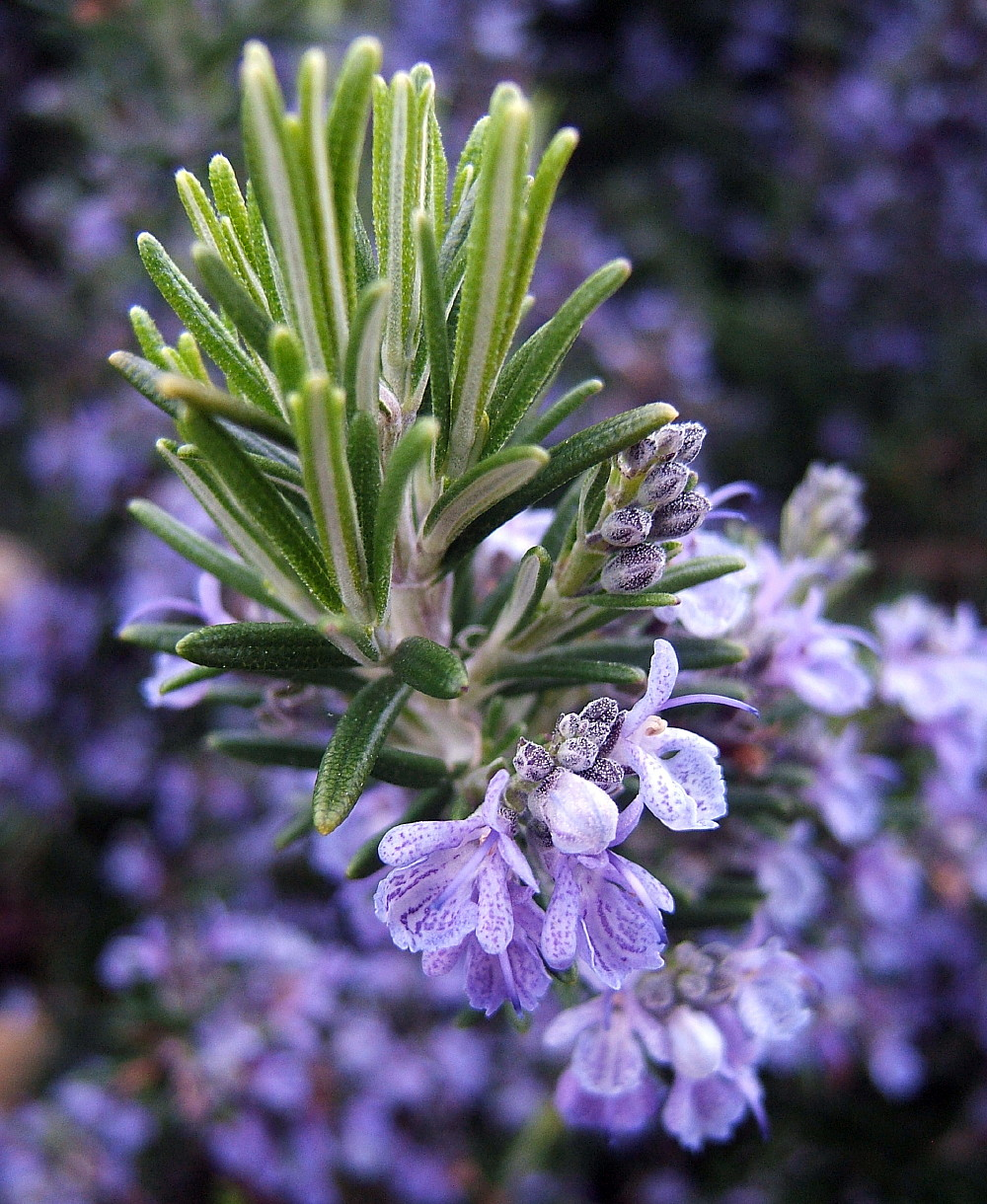 Rosemary Plant 4 Pot Great Herb Plant For Indoors Or Out