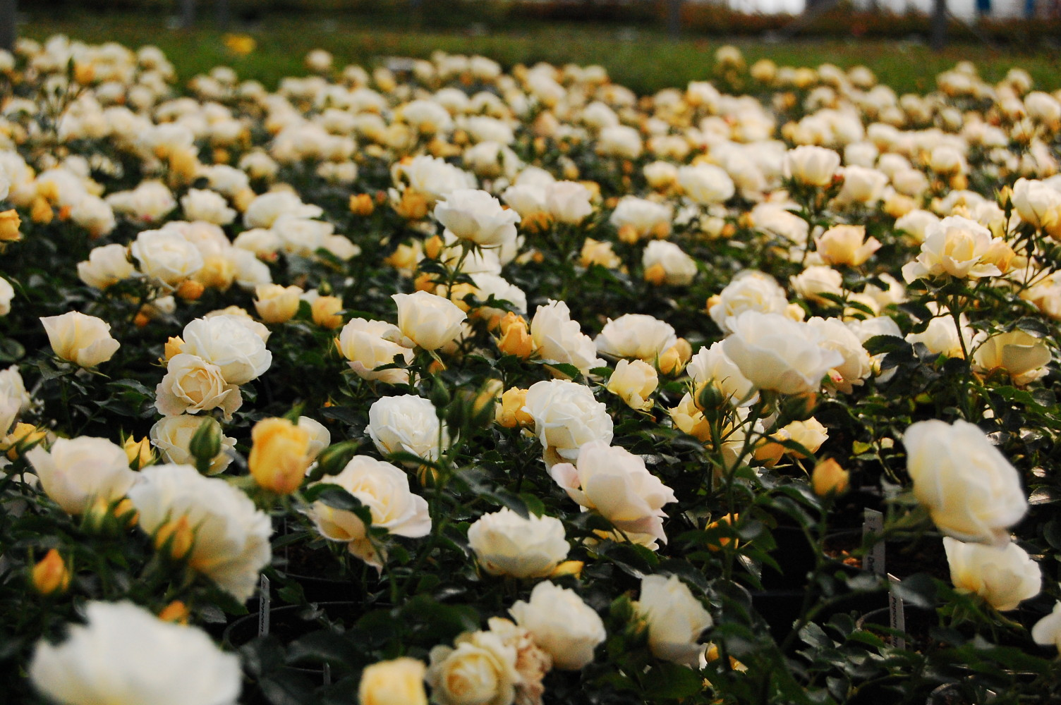 Popcorn Drift Rose - Disease Resistant - 4\