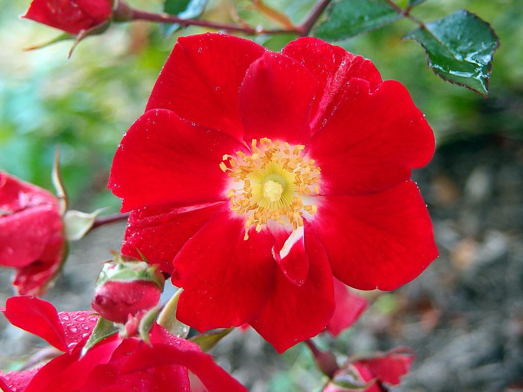 Http D3d71ba2asa5oz Cloudfront Net 12001418 Images Roseredmeidiland2 Jpg Shrub Roses Ground Cover Roses Shrubs