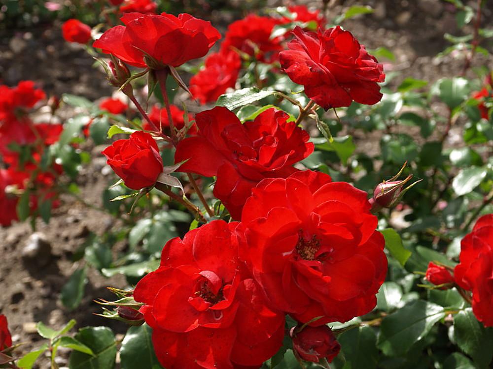 Bush 2009 ARS Winner Plants Shrub Yard Plant Roses Now Cinco de Mayo Rose 3 Gal