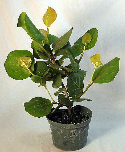 Sea Grape Pre Bonsai Tree Coccoloba Bonsai Houseplant On Popscreen