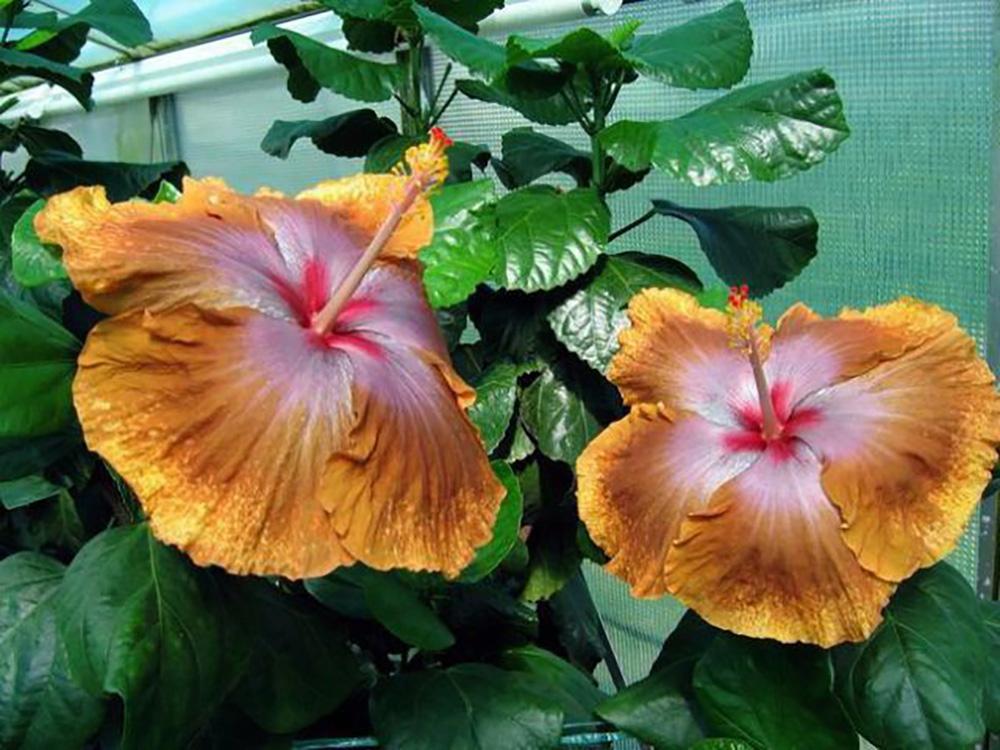 Tahitian Sophistication Tropical Hibiscus Plant 4 Pot Indoors