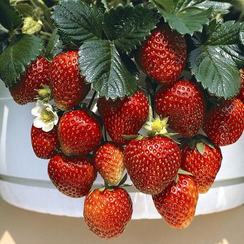 Toscana Strawberry 10 Seeds Garden Plants Vegetable Strawberry Plants Plants For Hanging Baskets