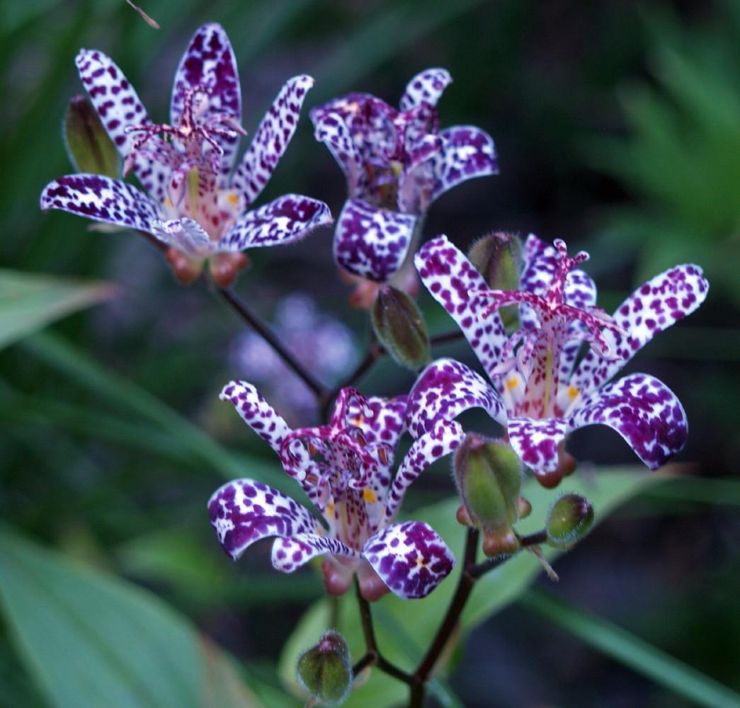 Blue wonder toad lily perennial tricyrtis 3 pot hirts gardens izmirmasajfo