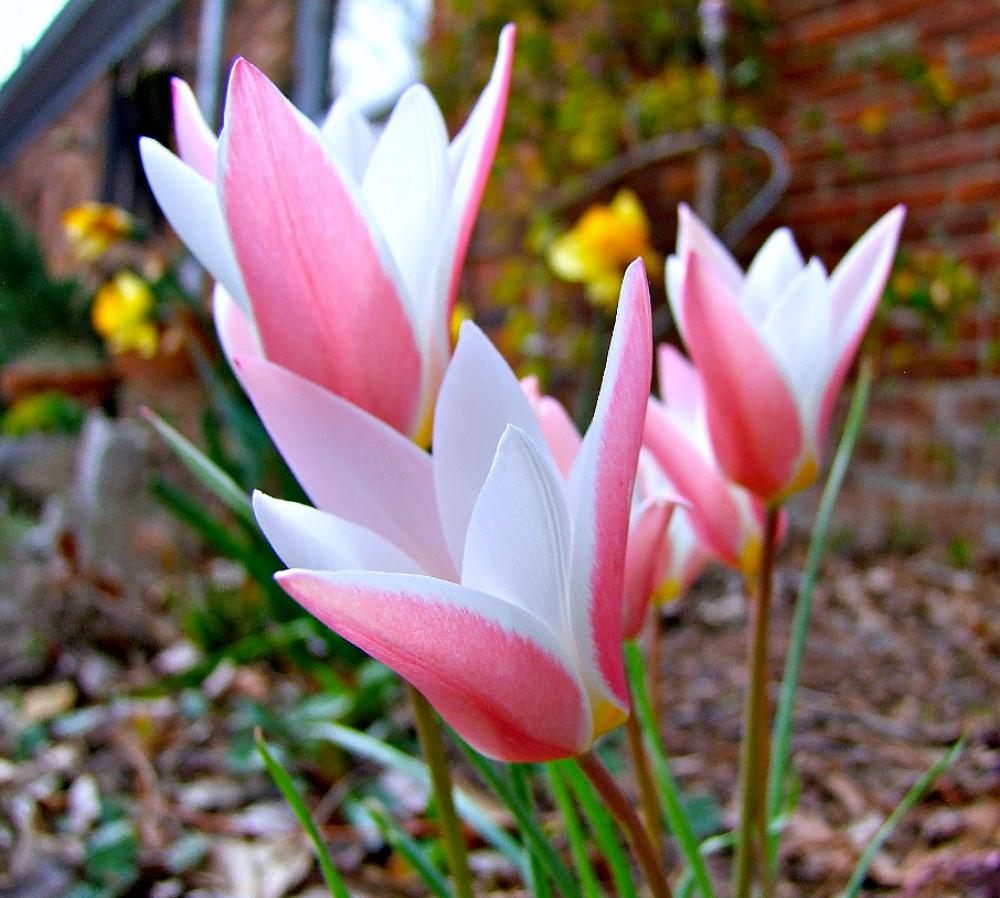 Lady Jane Perennial Tulip 8 Bulbs Very Hardy 6 Cm Ebay