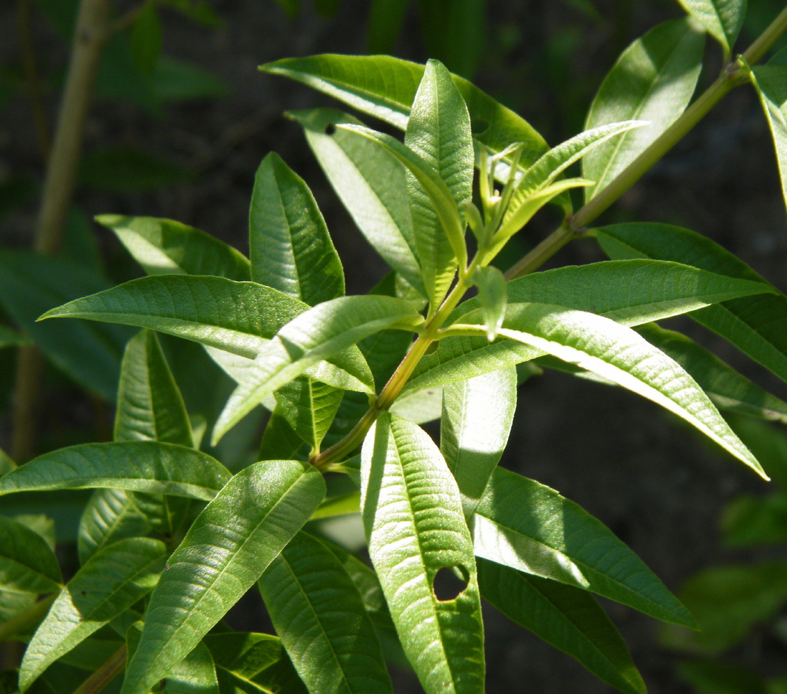 Images Of Lemon Verbena Alousia Trifolia / Buy lemon ...