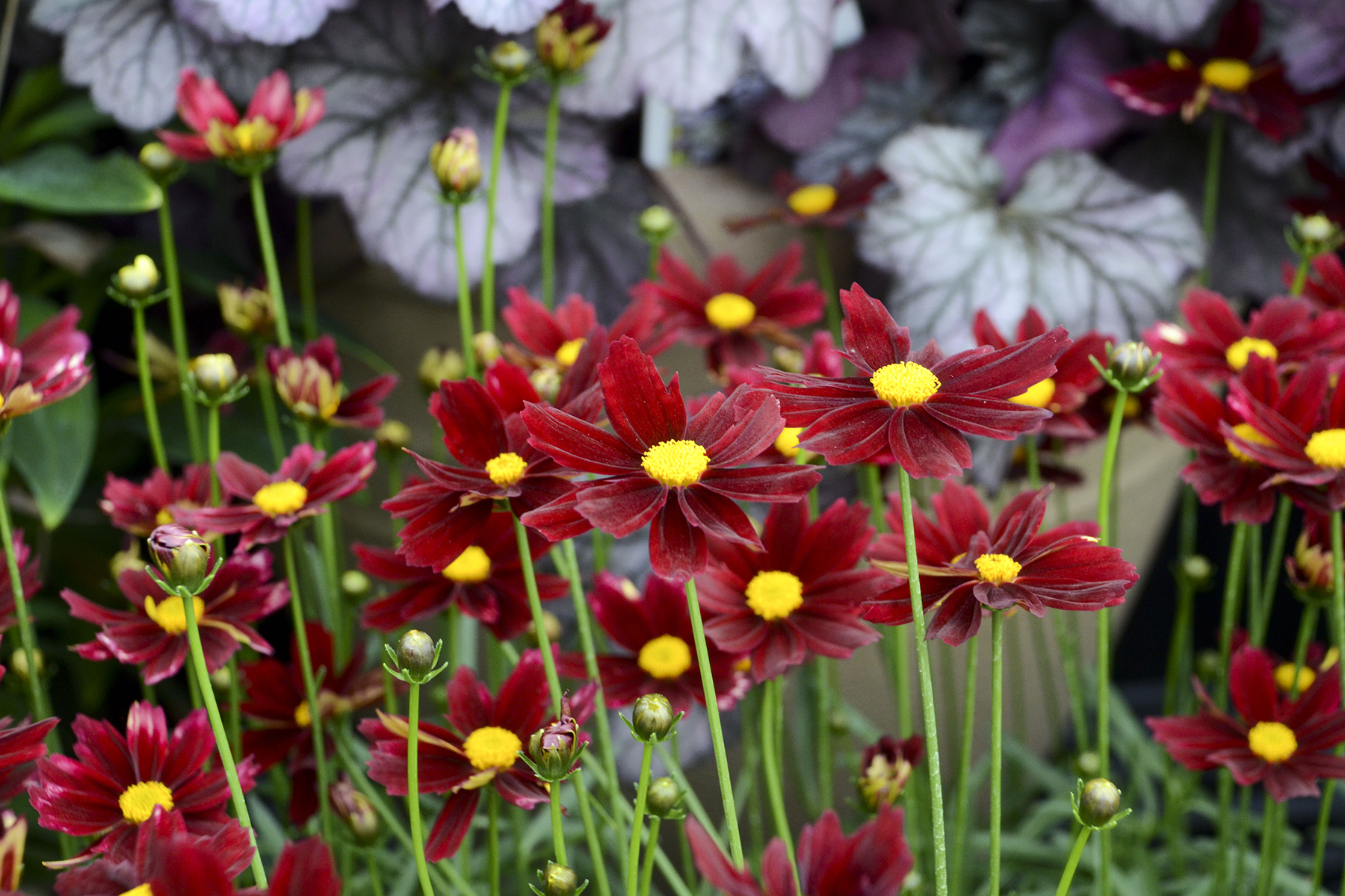 Lil Bang Red Elf Coreopsis Tickseed Perennial Plant Live Plant