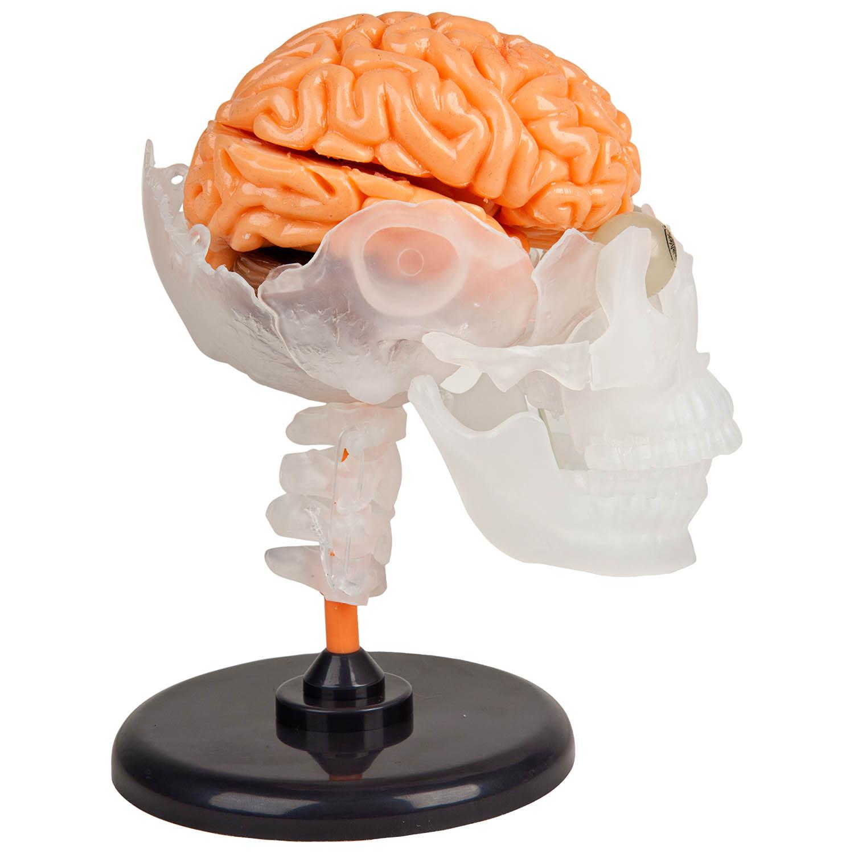 Smartlab Amazing Squishy Human Brain Model Kids Fun Educational ...