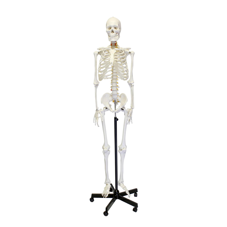 Mondo Medical Skeleton Model Life Size Human Skeleton Model For