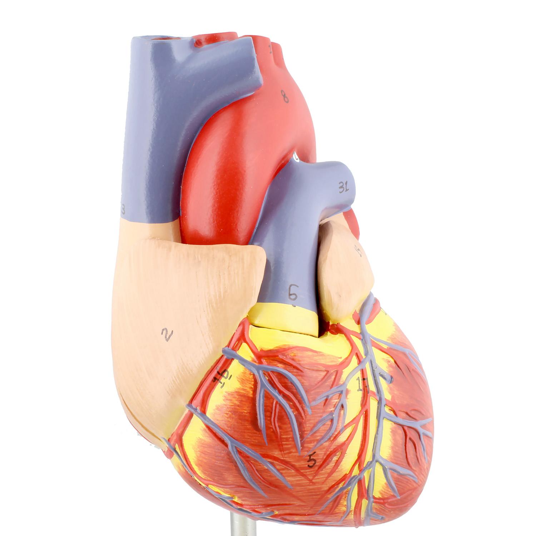 MonMed | Anatomical Heart Model 2 Part Medical Heart Human ...