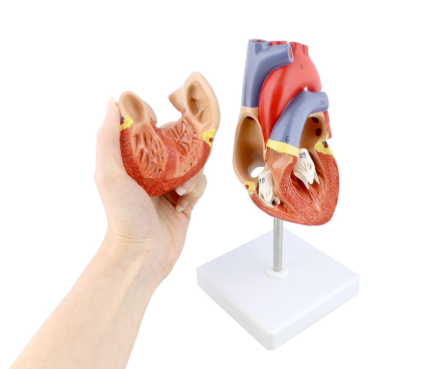 Mondo Anatomical Heart Model 2 Part Medical Heart Human Heart